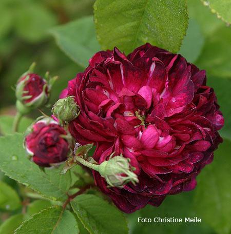 39 alice vena 39 r gallica gallicarosen alte rosen. Black Bedroom Furniture Sets. Home Design Ideas