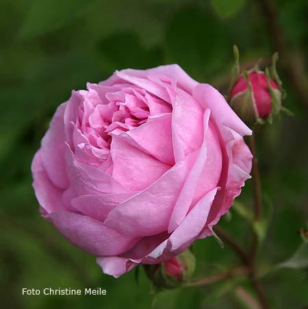 39 bacchante 39 r gallica gallicarosen alte rosen historische rosen. Black Bedroom Furniture Sets. Home Design Ideas