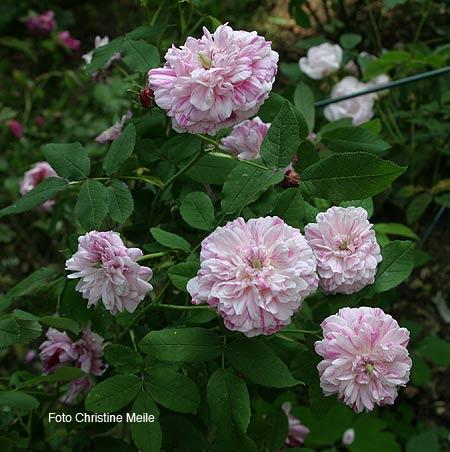 rosa gallica 39 belle des jardins 39 bl te purpur und violett gestreift alte rose rosengarten. Black Bedroom Furniture Sets. Home Design Ideas