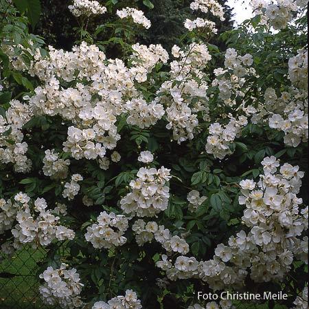 ramblerrose 39 bobbie james 39 in eltville rosen die in b ume wachsen rosengarten historische. Black Bedroom Furniture Sets. Home Design Ideas