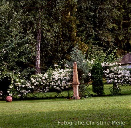 ramblerrose 39 bobby james 39 am zaun rosengarten gartengestaltung rosen die in b ume wachsen. Black Bedroom Furniture Sets. Home Design Ideas