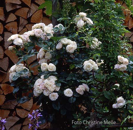 rosa moschata hybride 39 bouquet parfait 39 im gem segarten rosengarten beetrose strauchrsoe. Black Bedroom Furniture Sets. Home Design Ideas