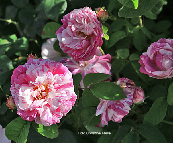 Camaieu rosa gallica gendron f 1826