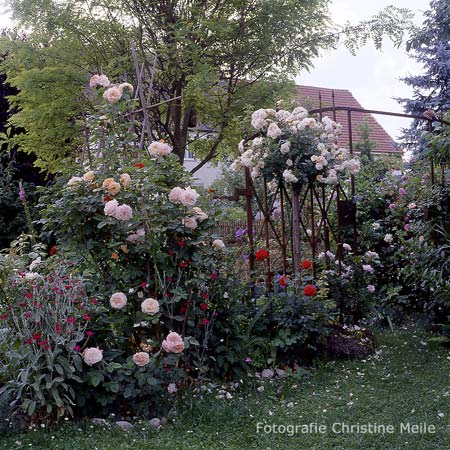 39 charles austin 39 englische rose. Black Bedroom Furniture Sets. Home Design Ideas
