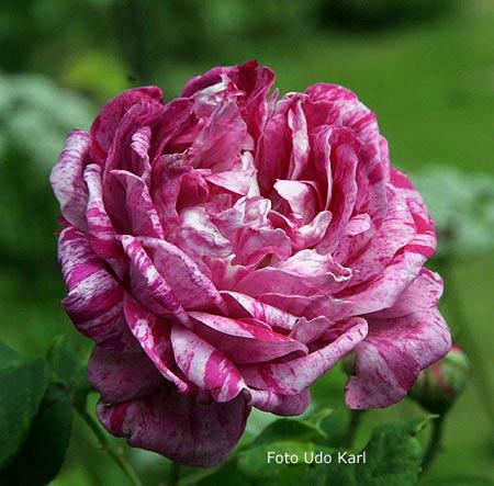 39 commandant beaurepaire 39 bourbonrose alte rose historische rose. Black Bedroom Furniture Sets. Home Design Ideas