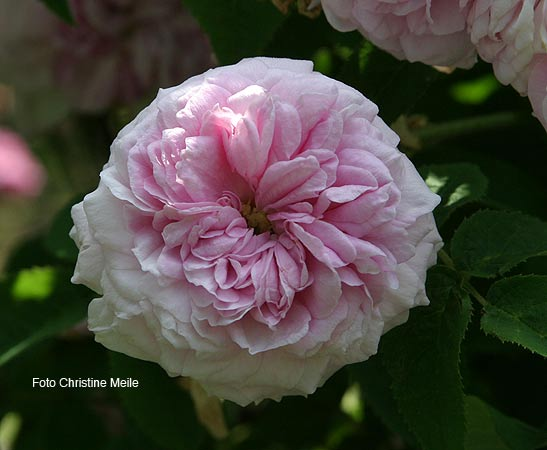 39 duchesse de verneuil 39 musc moosrose alte rose historische rosen. Black Bedroom Furniture Sets. Home Design Ideas