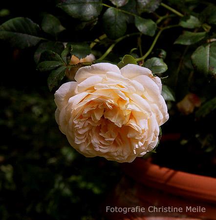 Moderne romantikrose 39 felidae 39 beetrose gartenrose - Gartengestaltung rosengarten ...