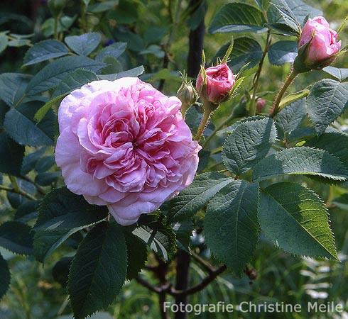 39 k nigin von d nemark 39 r alba albarosen alte rosen. Black Bedroom Furniture Sets. Home Design Ideas