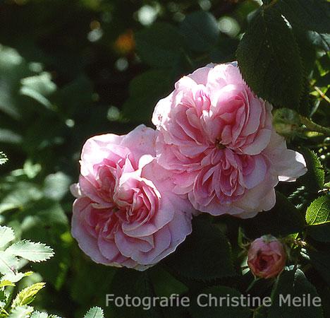 39 k nigin von d nemark 39 r alba historische rosen alte rosen. Black Bedroom Furniture Sets. Home Design Ideas