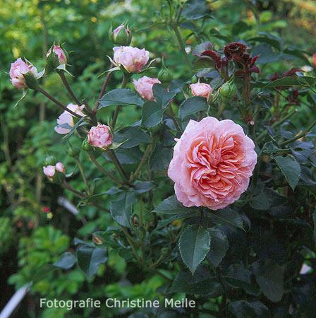 Ramblerrose 39 piroutte 39 poulsenrose gartenrose - Gartengestaltung rosengarten ...