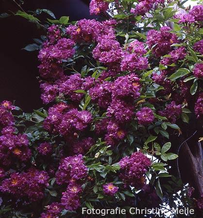 ramblerrose 39 veilchenblau 39 rosen die in b ume wachsen. Black Bedroom Furniture Sets. Home Design Ideas