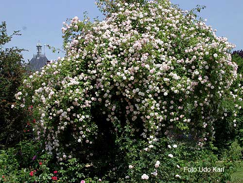 Ramblerrose Venusta Pendula Rosa Arvensis Hybride